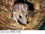 Купить «Игольчатая мышь», фото № 496748, снято 22 мая 2008 г. (c) Василий Аксюченко / Фотобанк Лори