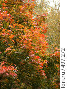 Купить «Клен красно-желтый», фото № 497272, снято 1 октября 2008 г. (c) Александр Перченок / Фотобанк Лори