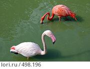 Купить «Красивая птица-Фламинго», фото № 498196, снято 27 сентября 2008 г. (c) Елена Гордеева / Фотобанк Лори