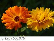 Календула оранжевая и желтая. Стоковое фото, фотограф nikolay uralev / Фотобанк Лори