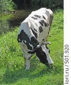 Купить «Корова у реки», фото № 501920, снято 22 августа 2008 г. (c) Иван / Фотобанк Лори