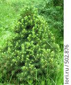 Купить «Маленькая елочка с молодыми иголочками», фото № 502876, снято 19 июля 2008 г. (c) елена бурова / Фотобанк Лори