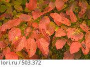 Купить «Фон. Растительная фактура - красные осенние листья», фото № 503372, снято 10 октября 2008 г. (c) Федор Королевский / Фотобанк Лори