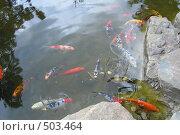 Купить «Кои нишики», фото № 503464, снято 26 апреля 2007 г. (c) Тарасова Татьяна / Фотобанк Лори
