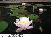 Купить «Кувшинки или нимфеи розовые на воде», фото № 503476, снято 6 июня 2007 г. (c) Тарасова Татьяна / Фотобанк Лори
