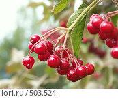 Купить «Калина обыкновенная, ягоды», фото № 503524, снято 9 сентября 2004 г. (c) Сергей Бехтерев / Фотобанк Лори