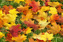 Кленовые листья, фото № 505228, снято 30 сентября 2008 г. (c) Литова Наталья / Фотобанк Лори