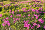 Цветы рододендрона на горном склоне, фото № 506968, снято 25 июня 2008 г. (c) Юрий Брыкайло / Фотобанк Лори
