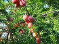 В саду.Алыча, фото № 507352, снято 9 июля 2008 г. (c) Олег Хархан / Фотобанк Лори
