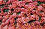 Осенняя хризантема, фото № 507616, снято 12 октября 2008 г. (c) Елена Гордеева / Фотобанк Лори