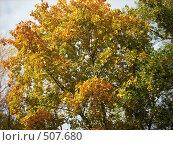 Купить «Клён осенью», фото № 507680, снято 28 сентября 2008 г. (c) Галина Гуреева / Фотобанк Лори