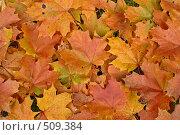 Кленовые листья осенью. Стоковое фото, фотограф Зябрикова Надежда / Фотобанк Лори