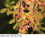 Купить «Барбарис обыкновенный, ягоды», фото № 513772, снято 20 августа 2004 г. (c) Сергей Бехтерев / Фотобанк Лори