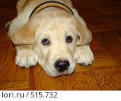 Купить «Щенок лабрадора ретривера», фото № 515732, снято 14 октября 2008 г. (c) Ирина / Фотобанк Лори