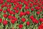 Фон: тюльпаны, фото № 515780, снято 11 мая 2008 г. (c) Роман Коротаев / Фотобанк Лори