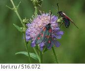 Бабочки на цветке, фото № 516072, снято 31 июля 2004 г. (c) Сергей Бехтерев / Фотобанк Лори