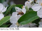 Пчела на цветке яблони. Стоковое фото, фотограф Виктор Юсупов / Фотобанк Лори