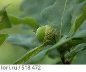Купить «Дуб черешчатый, маленький желудь», фото № 518472, снято 7 августа 2004 г. (c) Сергей Бехтерев / Фотобанк Лори