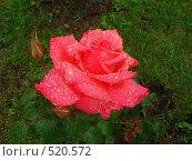 Роза после дождя. Стоковое фото, фотограф Александр Новиков / Фотобанк Лори