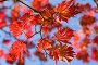 Красные листья, фото № 521200, снято 16 октября 2008 г. (c) Максим Горпенюк / Фотобанк Лори