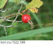 Купить «Роза майская (коричная), плоды шиповника», фото № 522188, снято 7 августа 2004 г. (c) Сергей Бехтерев / Фотобанк Лори