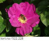 Роза морщинистая, пчелка на цветке шиповника, фото № 522228, снято 20 августа 2004 г. (c) Сергей Бехтерев / Фотобанк Лори
