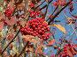 Рябина обыкновенная, красные грозди ягод, фото № 522264, снято 16 октября 2004 г. (c) Сергей Бехтерев / Фотобанк Лори