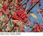 Купить «Рябина обыкновенная, красные грозди ягод», фото № 522264, снято 16 октября 2004 г. (c) Сергей Бехтерев / Фотобанк Лори