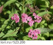 Купить «Спирея японская, розовые цветы», фото № 523200, снято 15 сентября 2004 г. (c) Сергей Бехтерев / Фотобанк Лори