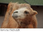 Купить «Верблюд в московском зоопарке», фото № 523228, снято 17 октября 2008 г. (c) Корчагина Полина / Фотобанк Лори