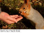 Белка берет орех с рук. Стоковое фото, фотограф Владислав Пугачев / Фотобанк Лори