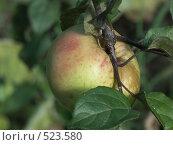 Купить «Яблоня домашняя, яблоко», фото № 523580, снято 14 сентября 2004 г. (c) Сергей Бехтерев / Фотобанк Лори