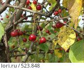 Купить «Яблоня ягодная,  ранетки», фото № 523848, снято 24 сентября 2004 г. (c) Сергей Бехтерев / Фотобанк Лори