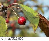 Купить «Яблоня ягодная, ранетки», фото № 523856, снято 1 октября 2004 г. (c) Сергей Бехтерев / Фотобанк Лори