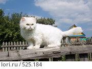 Купить «Белый кот», фото № 525184, снято 20 июля 2008 г. (c) Георгий Shpade / Фотобанк Лори