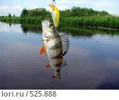 Купить «Окунь пойман на воблер», фото № 525888, снято 13 июля 2008 г. (c) Алексей Алексеев / Фотобанк Лори