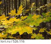 Купить «Листья клена», фото № 526116, снято 5 октября 2008 г. (c) Максим Пименов / Фотобанк Лори