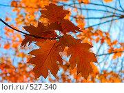 Купить «Осенние листья на фоне голубого неба», фото № 527340, снято 22 октября 2008 г. (c) Владимир Казарин / Фотобанк Лори