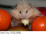 Купить «Хомяк», фото № 532856, снято 25 февраля 2007 г. (c) Литвяк Игорь / Фотобанк Лори