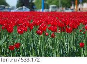Тюльпаны. Стоковое фото, фотограф Сергей Ляшко / Фотобанк Лори