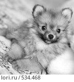 Купить «Щенок померанского шпица», фото № 534468, снято 24 мая 2008 г. (c) Александр Чермянин / Фотобанк Лори