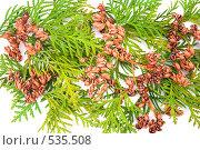 Купить «Вечнозеленая туя», фото № 535508, снято 21 августа 2018 г. (c) Коннов Леонид Петрович / Фотобанк Лори