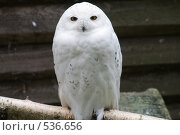 Купить «Полярная сова», фото № 536656, снято 7 сентября 2008 г. (c) Asja Sirova / Фотобанк Лори