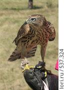 Ловчая птица на рукавице. Стоковое фото, фотограф Ирина Таболина / Фотобанк Лори