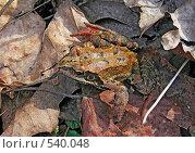 Купить «Лягушка на листьях», фото № 540048, снято 18 ноября 2018 г. (c) Вадим Кондратенков / Фотобанк Лори