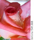 Купить «Роза с капельками росы», фото № 541668, снято 14 сентября 2008 г. (c) Юрий Брыкайло / Фотобанк Лори