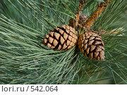Купить «Сосновые шишки», фото № 542064, снято 30 апреля 2008 г. (c) Игорь Шаталов / Фотобанк Лори