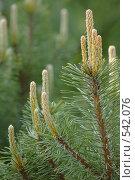 Купить «Сосновые побеги», фото № 542076, снято 30 апреля 2008 г. (c) Игорь Шаталов / Фотобанк Лори