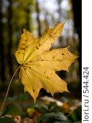 Купить «Осенний лист клена», фото № 544424, снято 9 октября 2008 г. (c) Андрюхина Анастасия / Фотобанк Лори