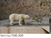 Белая медведица. Стоковое фото, фотограф Наталья Ефимова / Фотобанк Лори